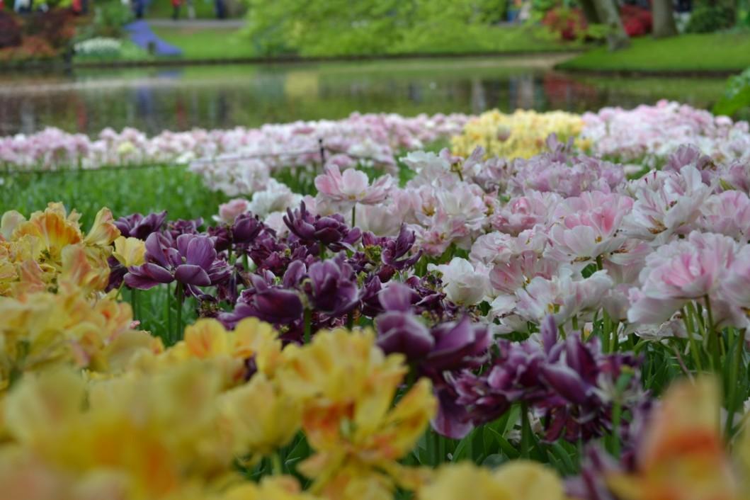 keu-olanda-fiori (2)